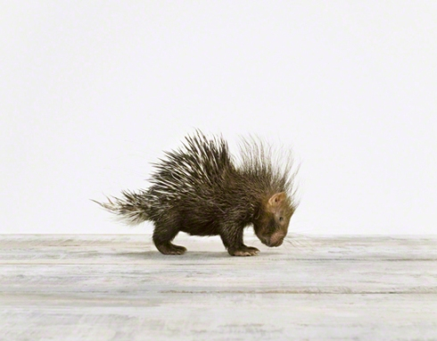 photo of a baby porcupine